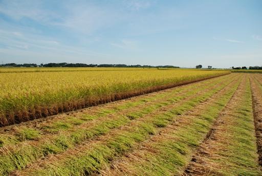 『稲刈り風景02』の画像