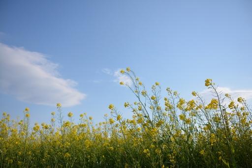 『菜の花05』の画像