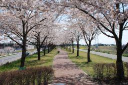 『桜づつみの画像です。』の画像