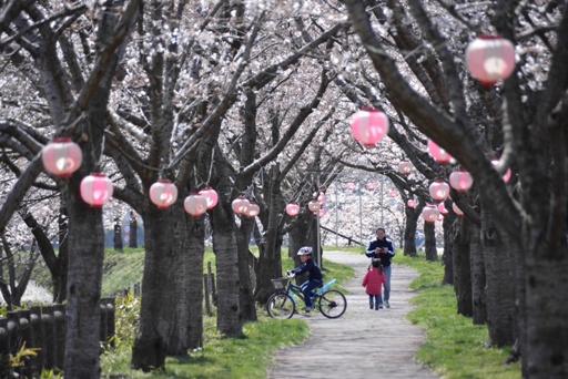 『桜01』の画像