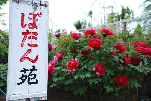 『香取神社のぼたん苑05』の画像