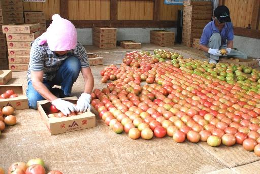 『トマト01』の画像