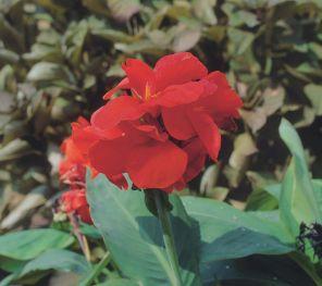 『町の花(カンナ)の画像です。』の画像