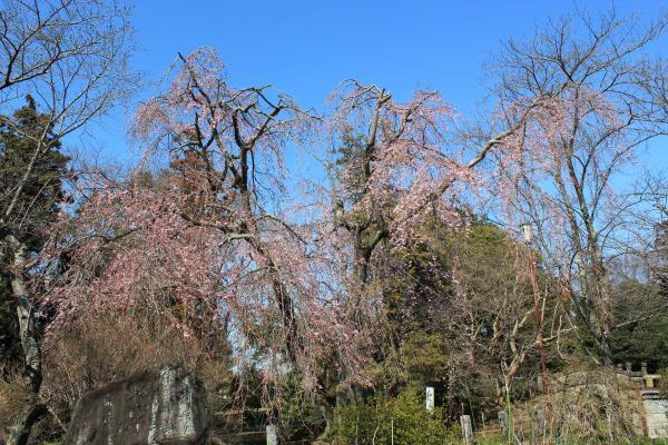 『『境香取神社のしだれ桜(3月26日)』の画像』の画像