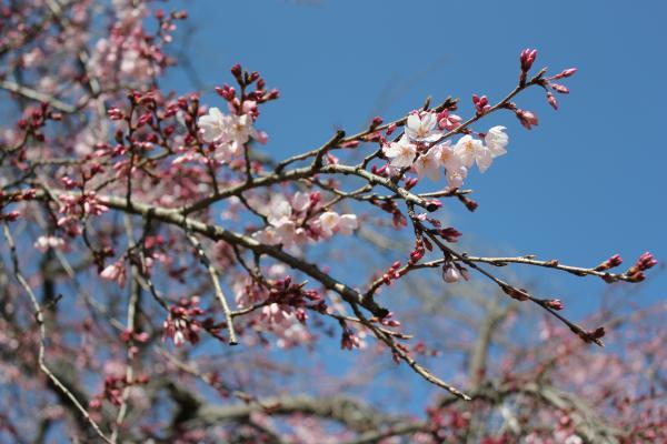 『『境香取神社のしだれ桜アップ(3月26日)』の画像』の画像