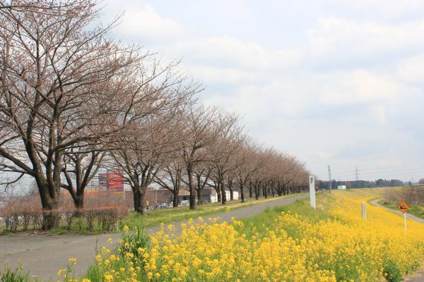 『『桜づつみ(3月28日)』の画像』の画像
