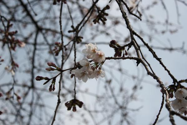 『桜づつみのアップ(3月28日)』の画像