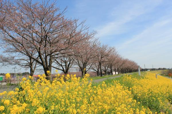 『桜づつみ_菜の花(3月31日)』の画像