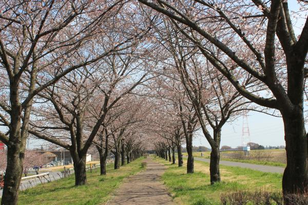 『桜づつみ(3月31日)』の画像
