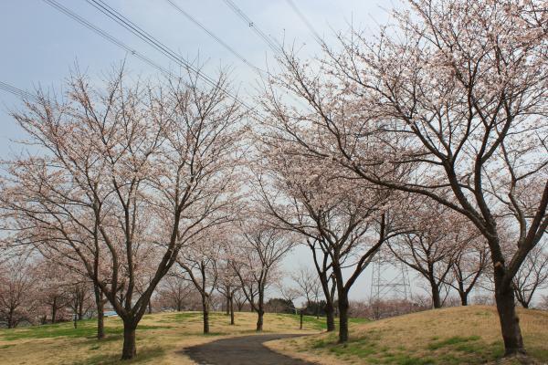 『『さくらの丘公園(4月1日)』の画像』の画像