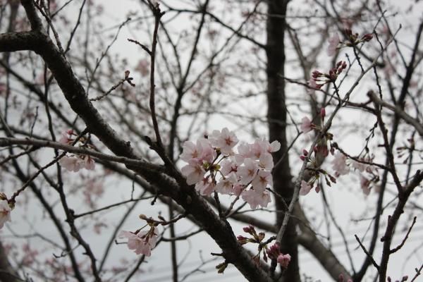 『さくらの丘公園アップ(4月1日)』の画像