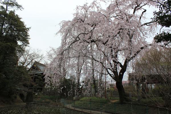 『境香取神社のしだれ桜(4月2日)』の画像
