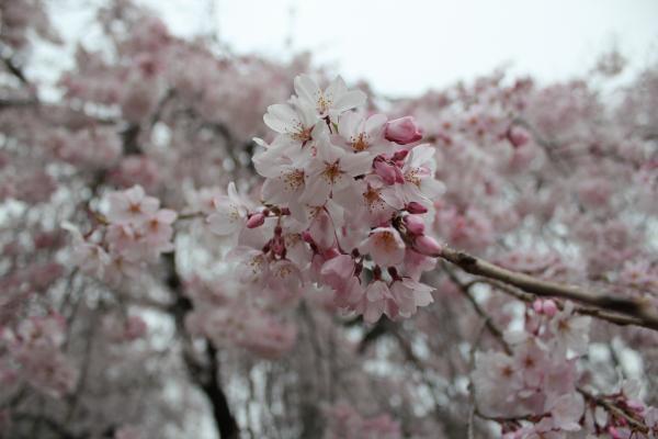 『境香取神社のしだれ桜アップ(4月2日)』の画像