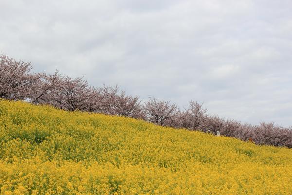 『『桜づつみ(4月3日)』の画像』の画像