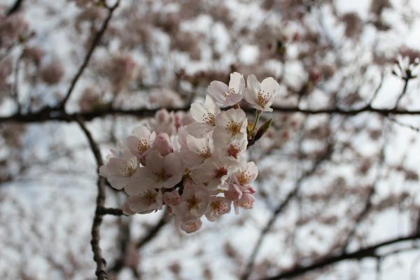 『桜づつみ_アップ(4月3日)』の画像