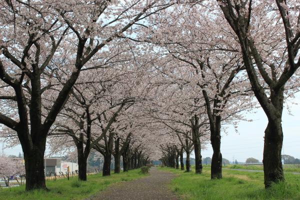 『『桜づつみ(4月4日)』の画像』の画像