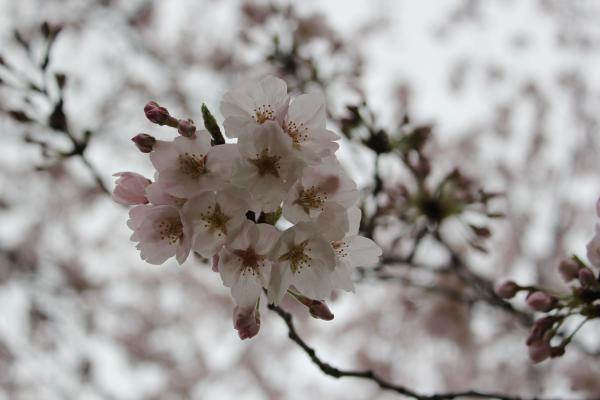 『桜づつみ_アップ(4月4日)』の画像