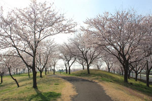 『さくらの丘公園(4月6日)』の画像