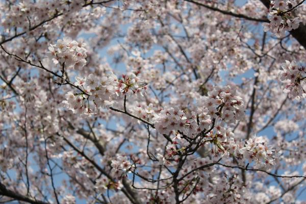 『さくらの丘公園_アップ(4月6日)』の画像
