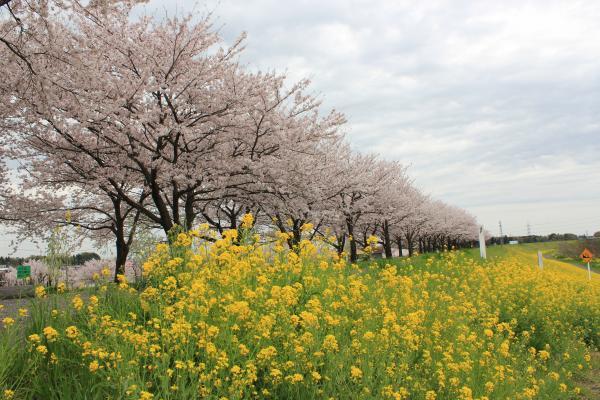 『さくらづつみと菜の花(4月8日)』の画像