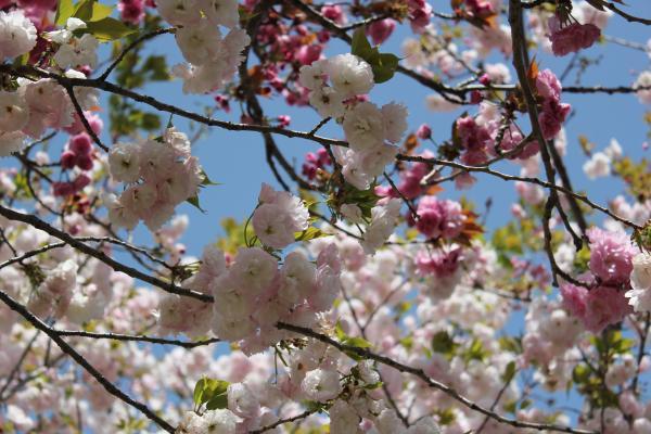 『さくらの森パーク_アップ(4月15日)』の画像