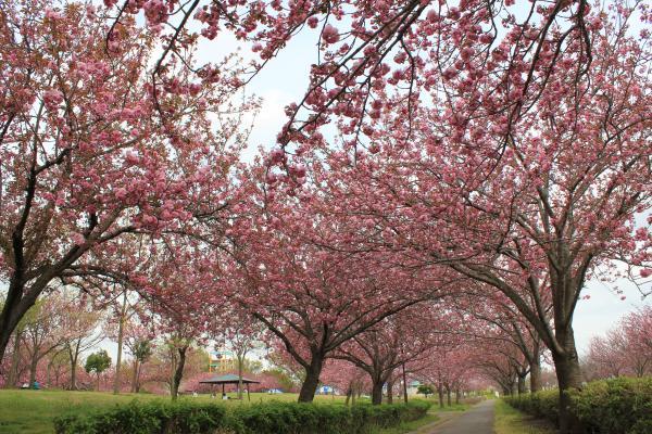『さくらの森パーク(4月16日)』の画像