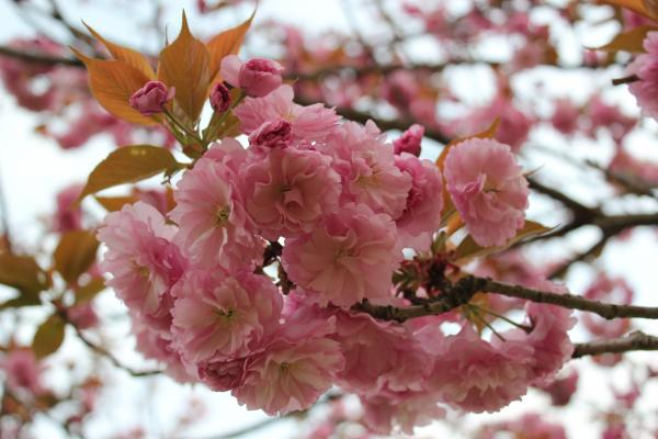 『さくらの森パーク_アップ(4月16日)』の画像