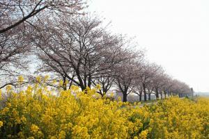 『桜づつみ_アップ_20170406』の画像