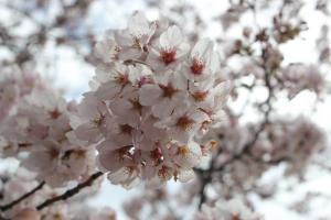 『桜づつみ_アップ_20170407』の画像