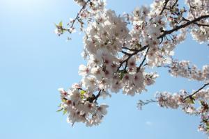 『桜づつみ_アップ_20170413』の画像